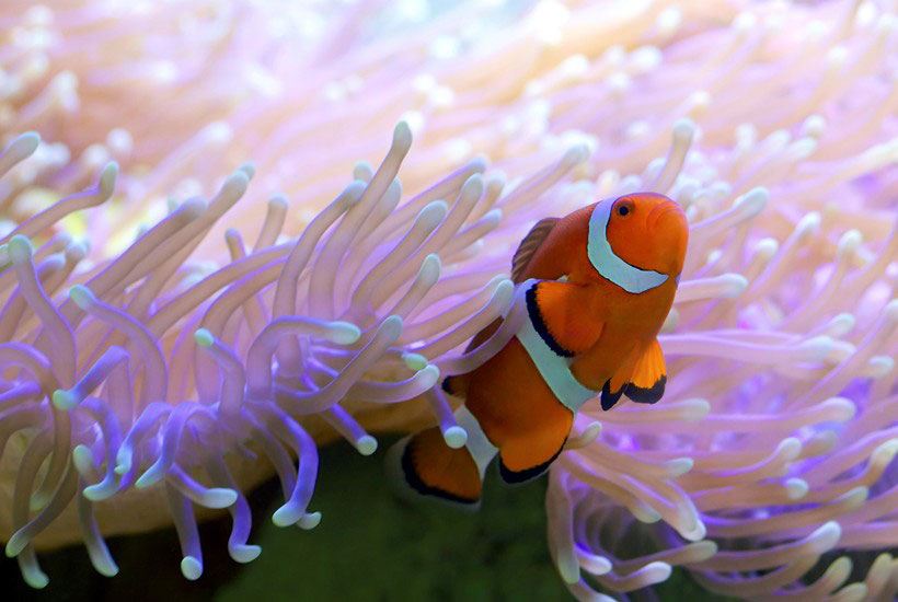 Clownfish in the Great Barrier Reef, Whitsunday islands, Australia